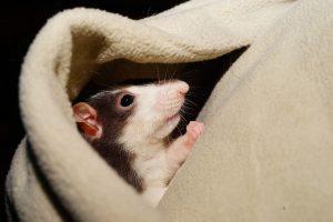 A rat peeking from under a blanket.