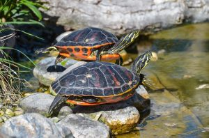Two turtles sunning on rocks next to the water.