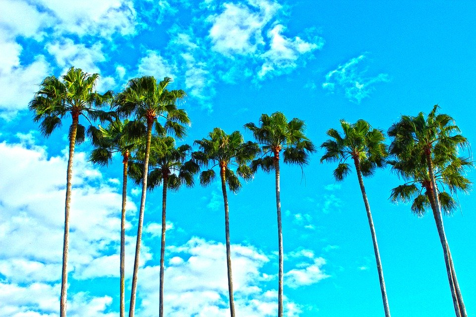 Palm trees in Florida and clear blue sky.