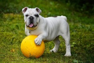 English Bulldog with a yellow ball.